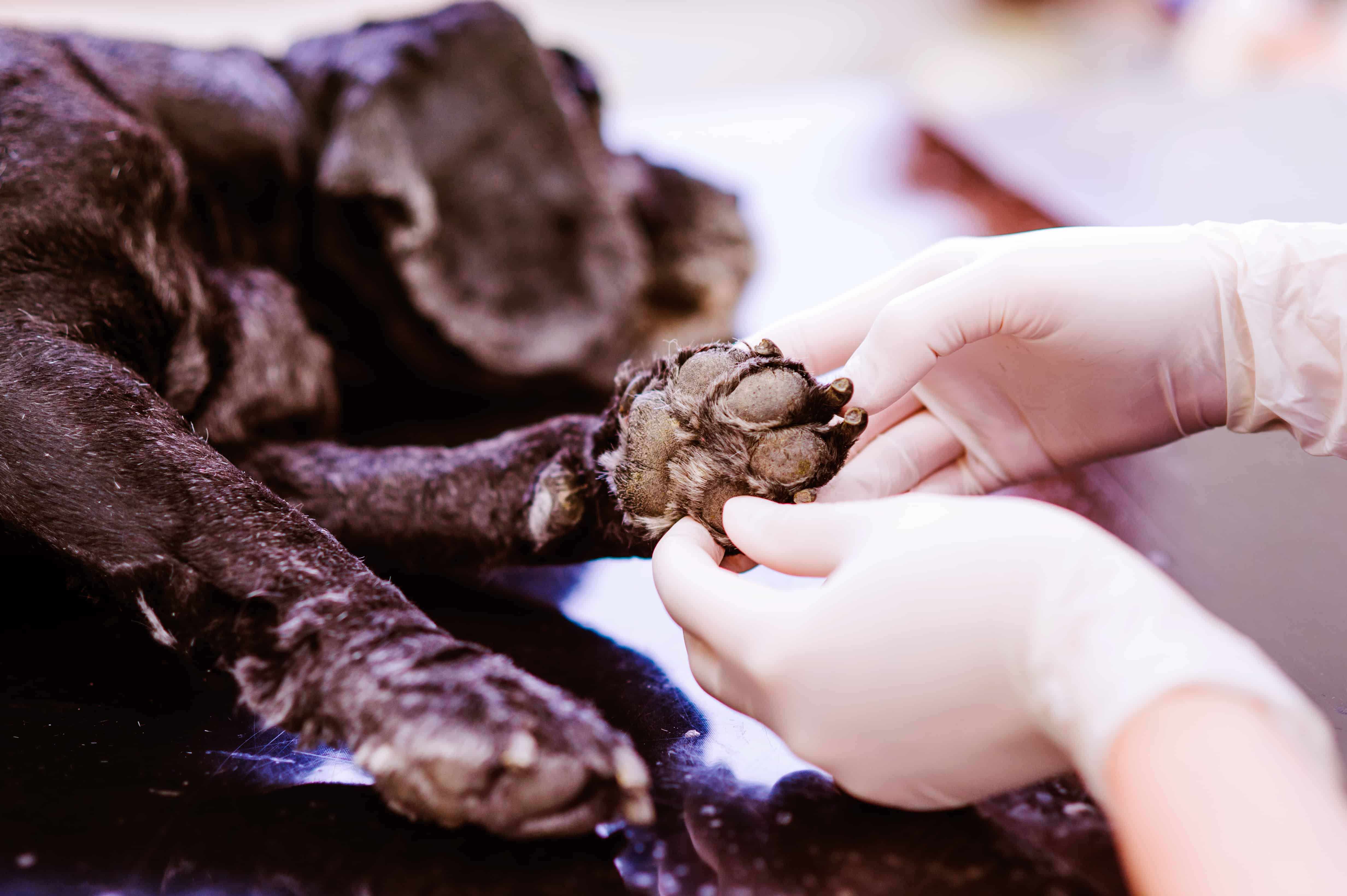 Republic Veterinary of Buda and Kyle examining black dog