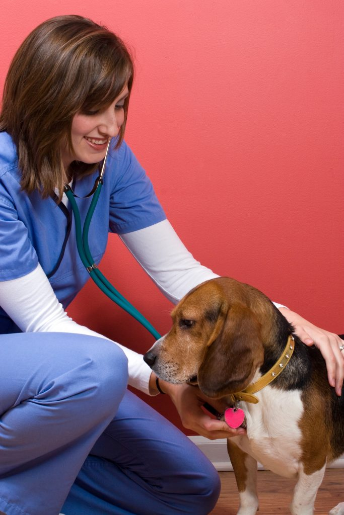 A Buda Texas veterinarian tends to a sick beagle dog and listens to his heart with a stethoscope.