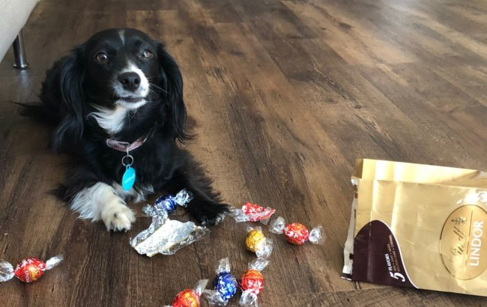 Small black and white dog on the floor with Lindt chocolate balls